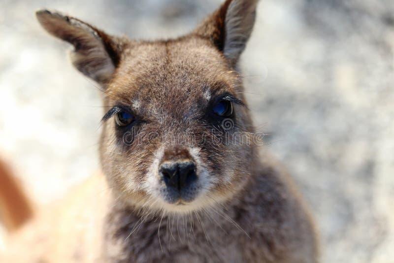 Ritratto del wallaby di roccia fotografia stock libera da diritti
