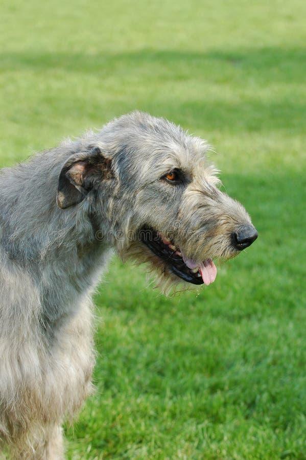 Ritratto del wolfhound irlandese fotografia stock libera da diritti