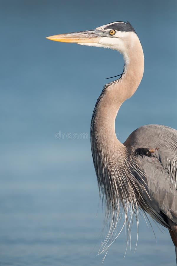 Ritratto dell'airone di grande blu, Florida, unita immediatamente fotografie stock libere da diritti
