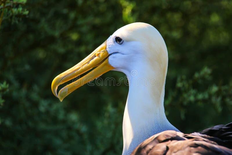 Ritratto dell'albatro Waved parco nazionale sull'isola di Espanola, Galapagos, Ecuador immagine stock libera da diritti