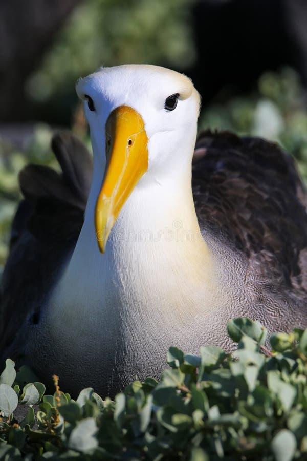Ritratto dell'albatro Waved parco nazionale sull'isola di Espanola, Galapagos, Ecuador fotografia stock