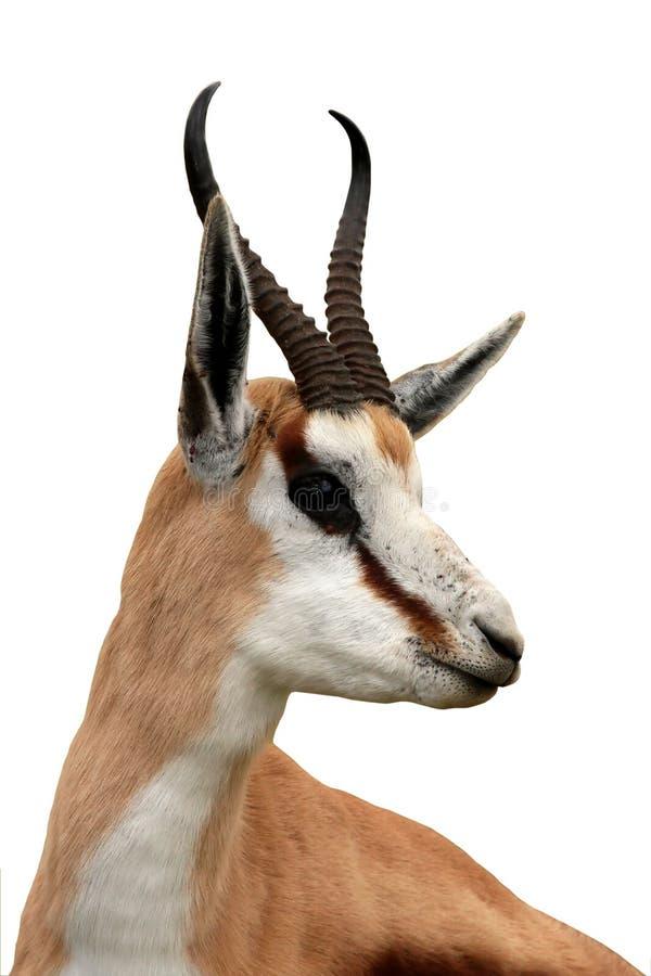Ritratto dell'antilope dello Springbuck immagini stock
