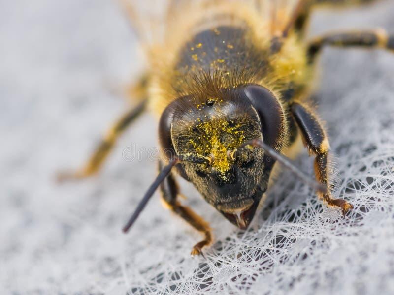 Ritratto dell'ape mellifica immagine stock