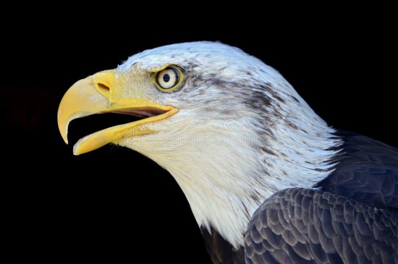 Ritratto dell'aquila calva fotografie stock libere da diritti