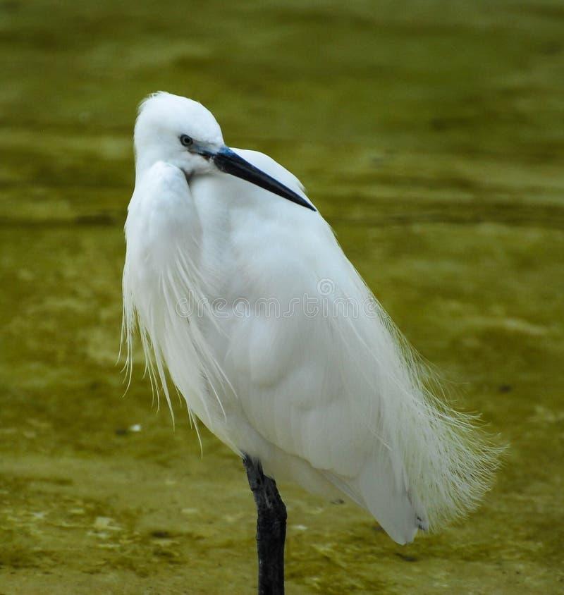 Ritratto dell'egretta fotografia stock