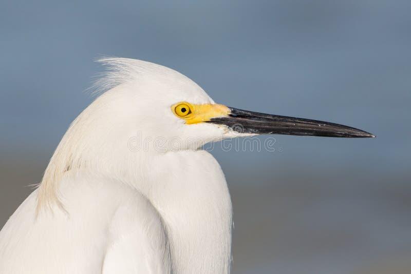 Ritratto dell'egretta di Snowy con fondo blu, laguna di Estero, Florida fotografia stock libera da diritti