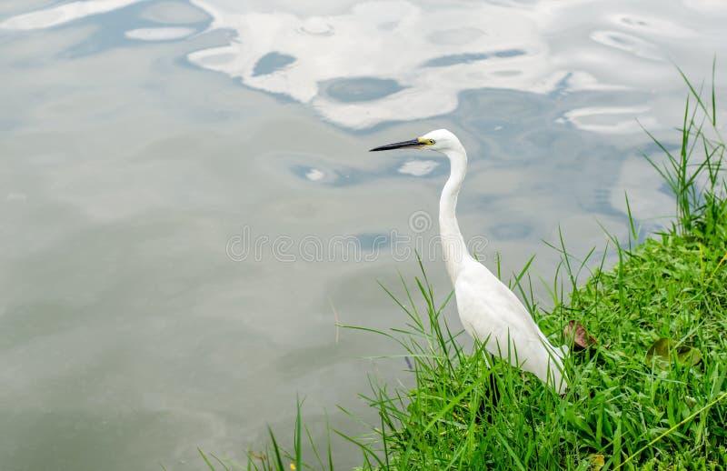 Ritratto dell'egretta nel parco fotografia stock libera da diritti