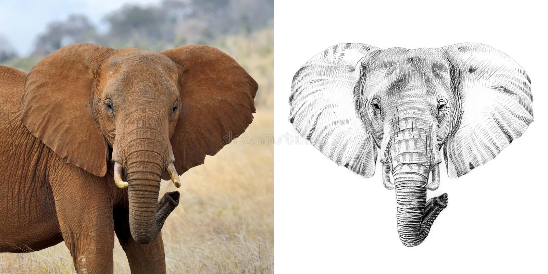 Ritratto dell'elefante prima e dopo disegnato a mano a matita fotografia stock
