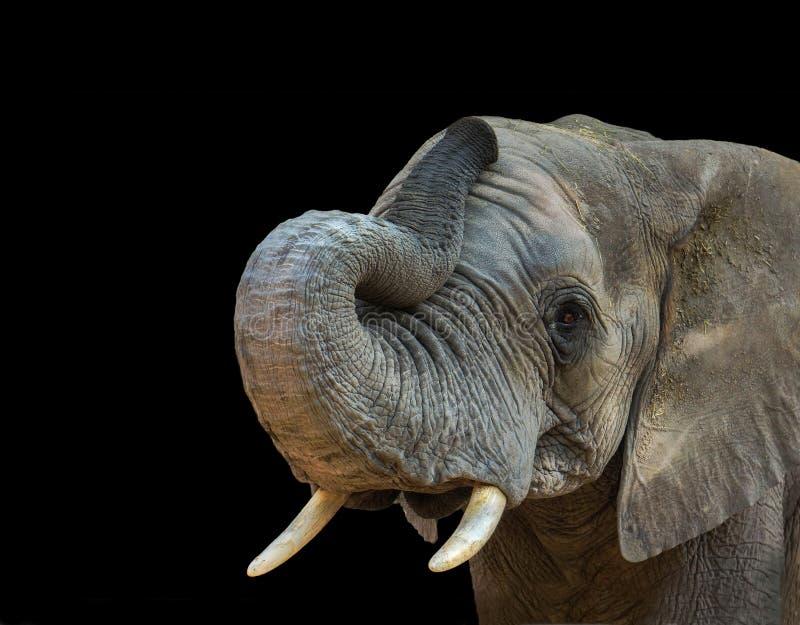 Ritratto dell'elefante su fondo nero fotografia stock