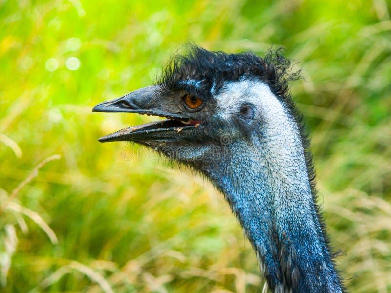 Ritratto dell'emù con il becco aperto L'uccello secondo più esteso dell'endemico del mondo in Australia immagine stock