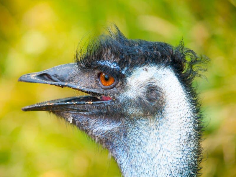 Ritratto dell'emù con il becco aperto L'uccello secondo più esteso dell'endemico del mondo in Australia immagine stock libera da diritti