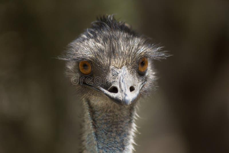 Ritratto dell'emù immagine stock libera da diritti