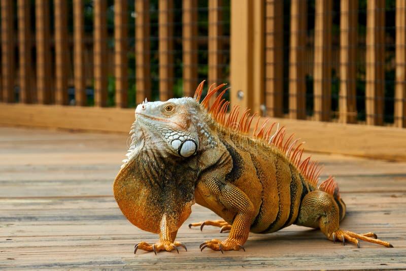 Ritratto dell'iguana gialla fotografia stock