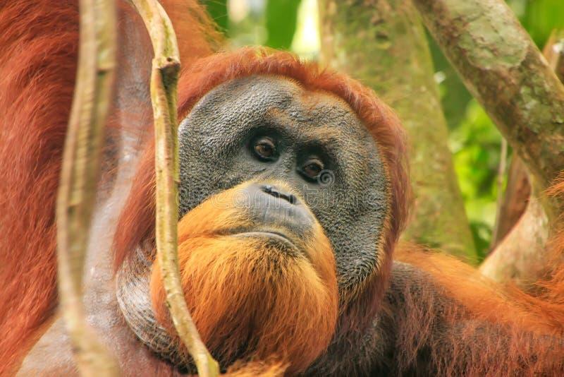 Ritratto dell'orangutan maschio di Sumatran nel PA nazionale di Gunung Leuser fotografie stock libere da diritti