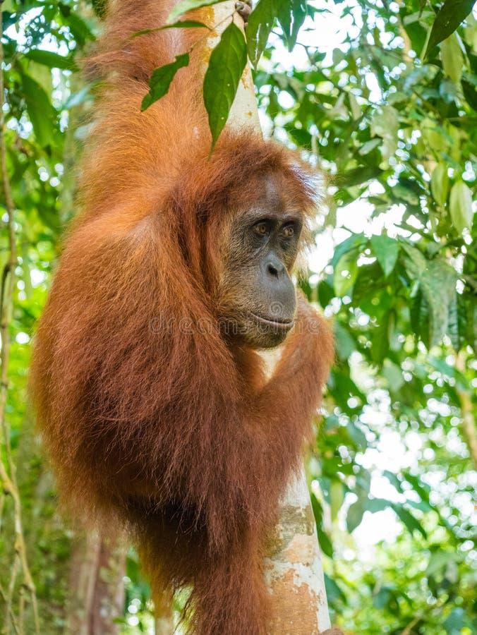 Ritratto dell'orangutan in un albero, Bukit Lawang, Indonesia immagini stock