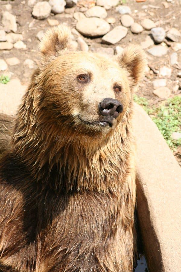 Ritratto dell'orso immagine stock libera da diritti