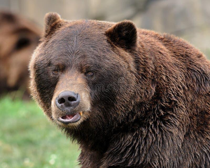 Ritratto dell'orso dell'orso grigio immagini stock libere da diritti