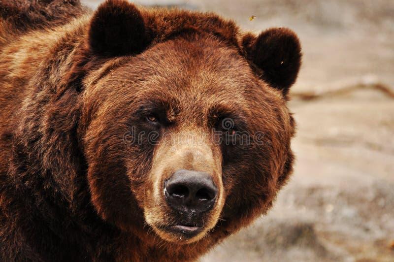 Ritratto dell'orso grigio fotografie stock libere da diritti