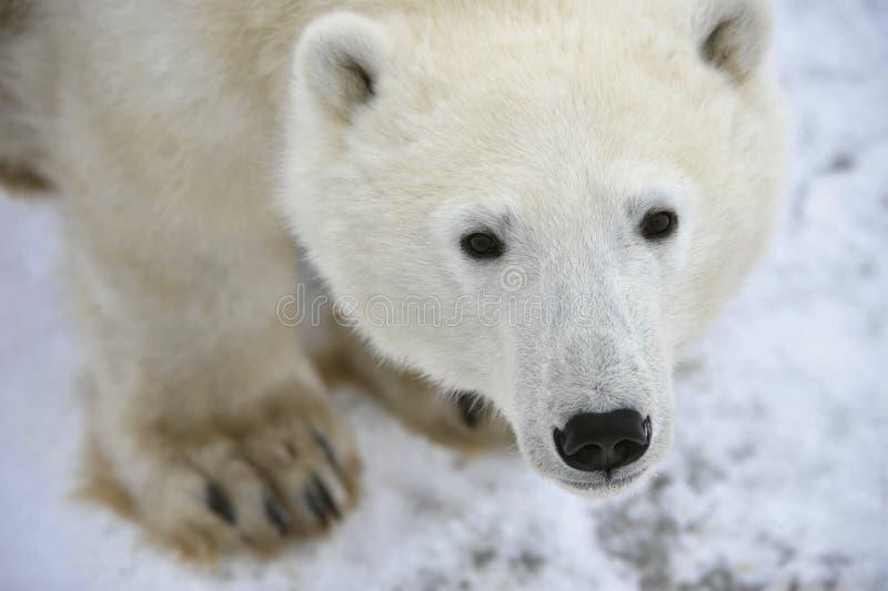 Ritratto dell'orso polare. fotografia stock libera da diritti