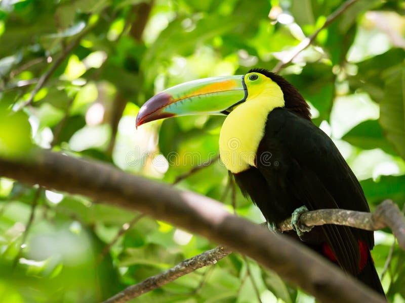 Ritratto dell'uccello Chiglia-fatturato del tucano immagine stock libera da diritti