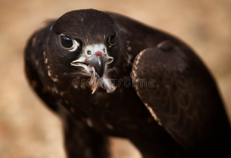 Ritratto dell'uccello del falco immagini stock