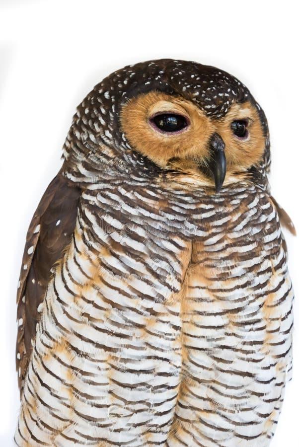Ritratto dell'uccello di legno del gufo di Brown immagini stock