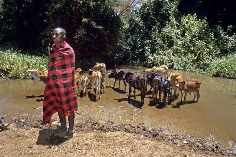 Ritratto dell'uomo masai con bere le giovani mucche fotografie stock libere da diritti