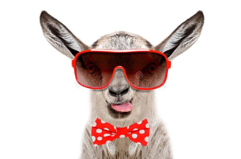 Ritratto della capra divertente in occhiali da sole e farfallino, mostrante la lingua immagini stock libere da diritti