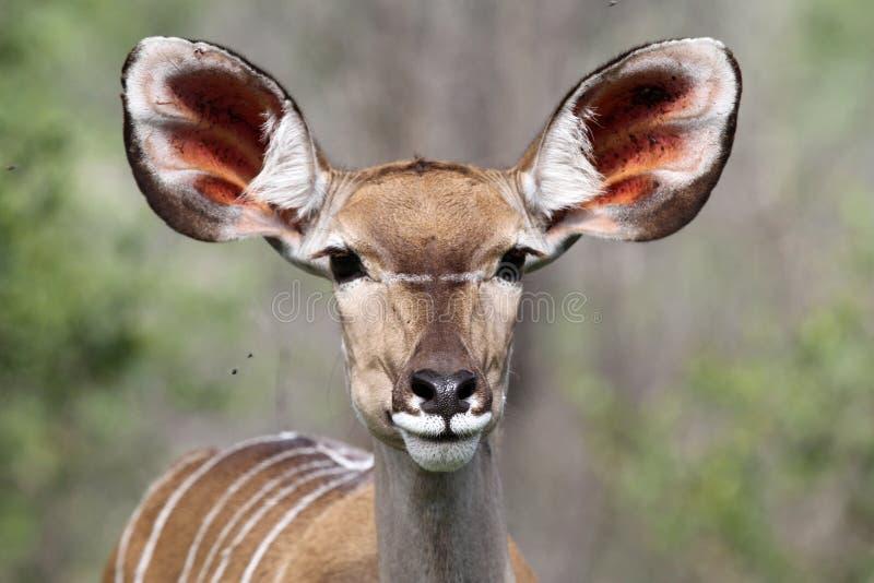 Ritratto della daina di Kudu fotografia stock libera da diritti