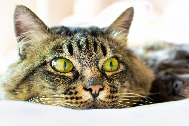 Ritratto della faccia di un gatto grigio di un gatto con gli occhi verdi giace su una paletta leggera, distante, ravvicinato fotografia stock