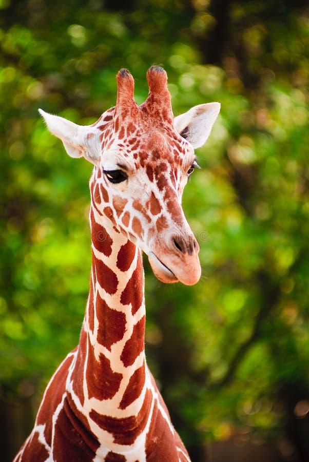 ritratto della giraffa immagini stock