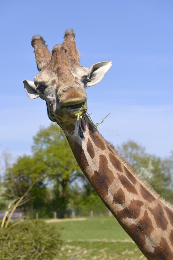 Ritratto della giraffa che mangia un'erba immagini stock