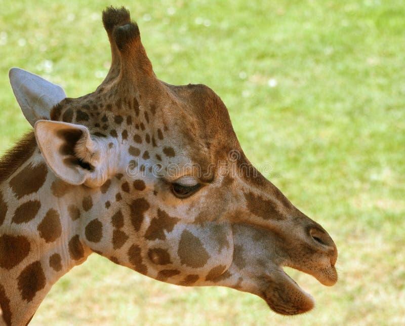 Ritratto della giraffa triste fotografia stock libera da diritti