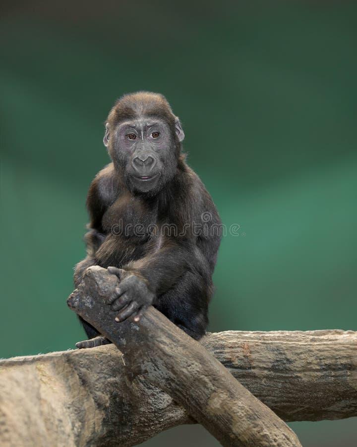 Ritratto della gorilla del bambino fotografia stock
