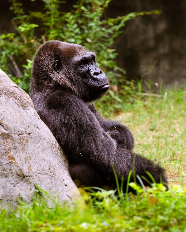 Ritratto della gorilla femminile della pianura immagini stock