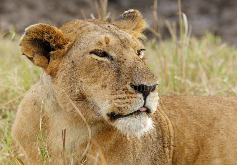 Ritratto della leonessa immagine stock