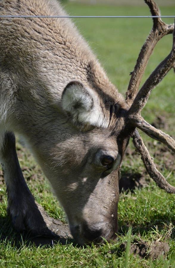 Ritratto della renna di Tarandus del Rangifer immagini stock