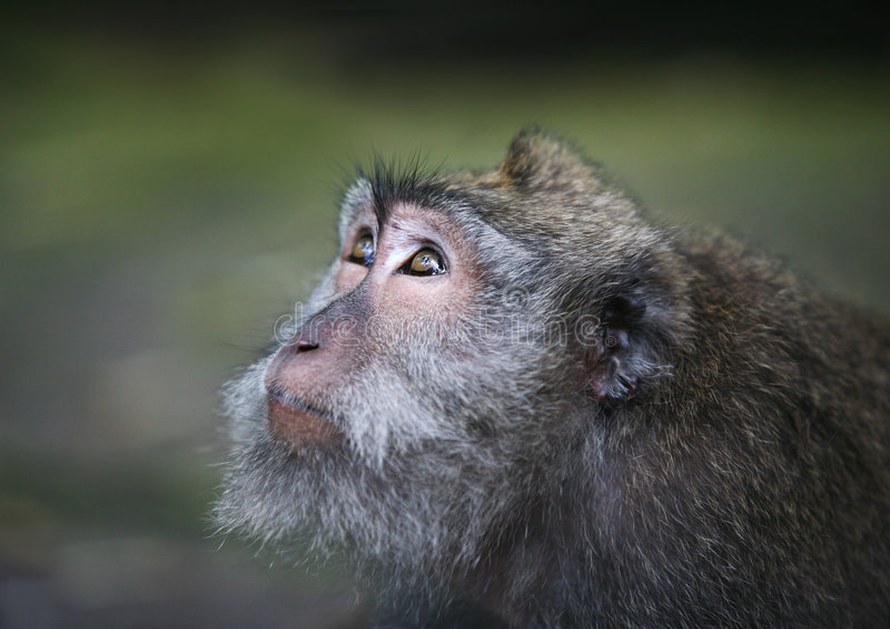 Ritratto della scimmia fotografie stock