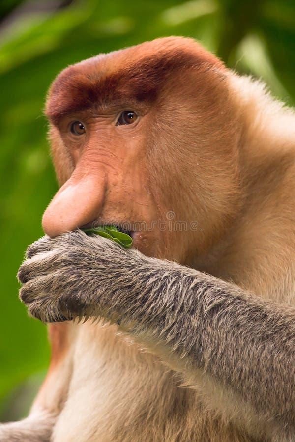 Ritratto della scimmia di Proboscis fotografie stock