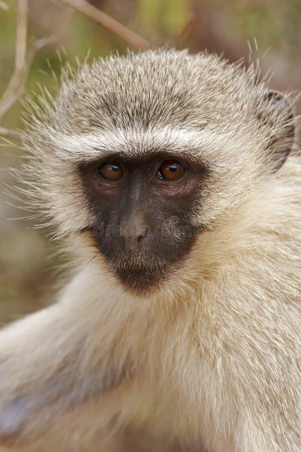 Ritratto della scimmia di Vervet immagini stock libere da diritti