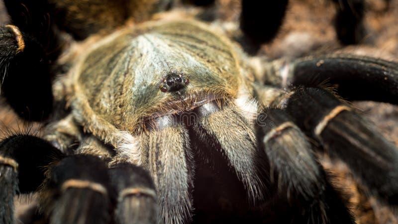 Ritratto della tarantola di hainanum di Haplopelma immagine stock