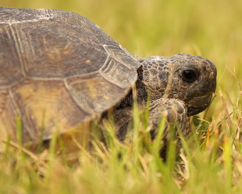 Ritratto della tartaruga di gopher fotografie stock