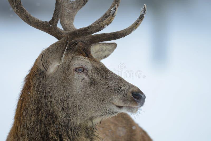 Ritratto della testa del maschio dei cervi nobili, inverno fotografia stock