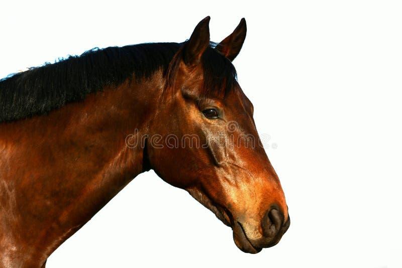 Ritratto della testa di profilo del cavallo su bianco fotografia stock libera da diritti