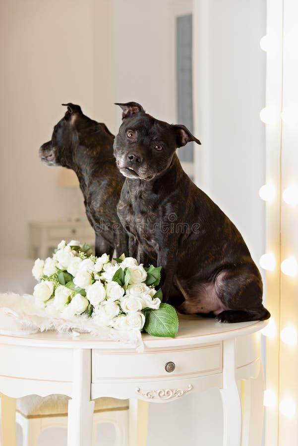 Ritratto della testa di Staffordshire Terrier americano fotografie stock libere da diritti
