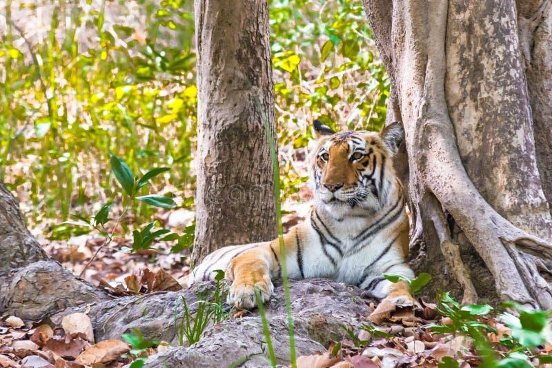 Ritratto della tigre femmina immagine stock libera da diritti