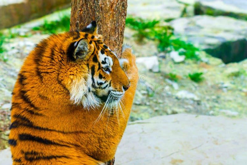 Ritratto della tigre siberiana Il pericolo aggressivo di significato del fronte di sguardo fisso per la preda Vista del primo pia fotografie stock