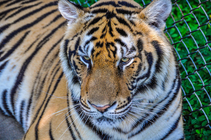 Ritratto della tigre in Tiger Kingdom, Tailandia immagini stock libere da diritti