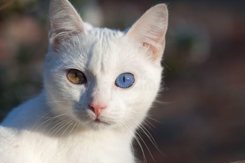 Ritratto della vista frontale del gatto russo bianco puro immagini stock