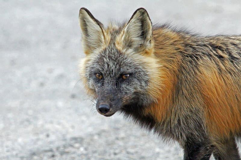 Ritratto della volpe grigia immagini stock